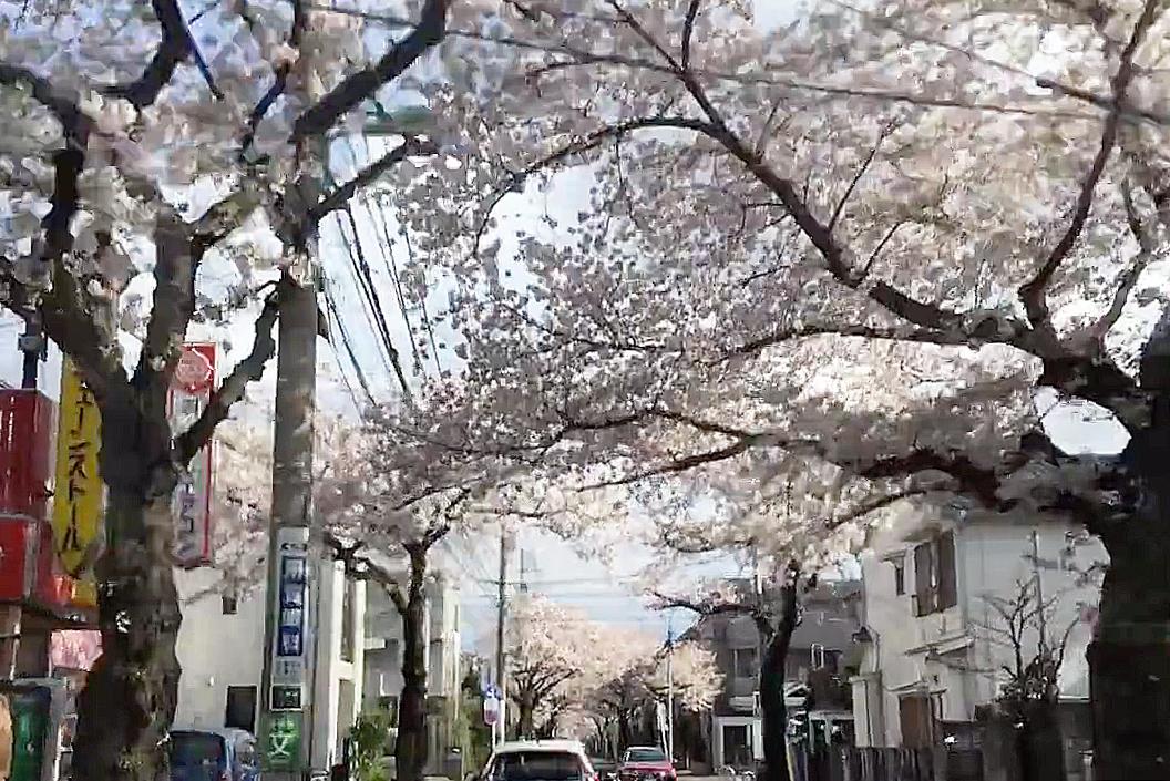 2017年の桜
